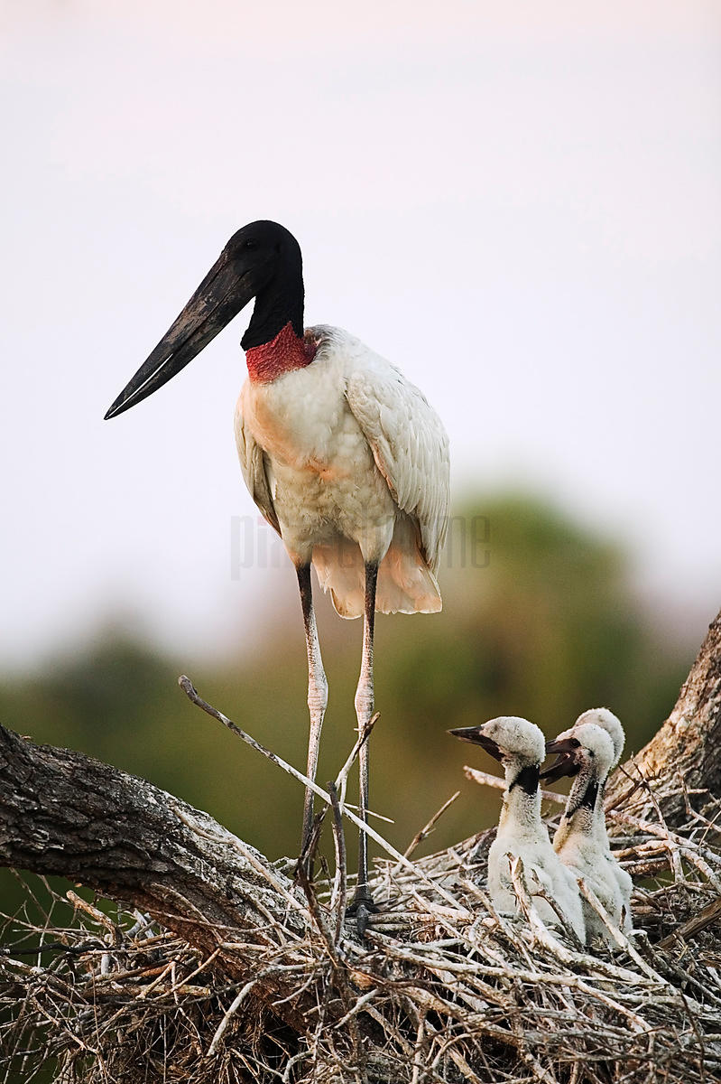 Jabiru Stork at Nest with Young, Transpantaneira Highway, Pantanal, Mato Grosso, Brazil