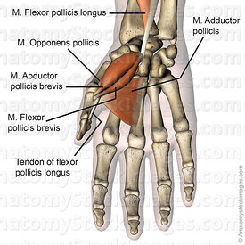 hand-thumb-muscles-musculus-abductor-pollicis-brevis-flexor-pollicis-brevis-flexor-pollicis-longus-tendon-adductor-pollicis-o...