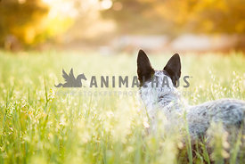 Cattle dog looking off into field
