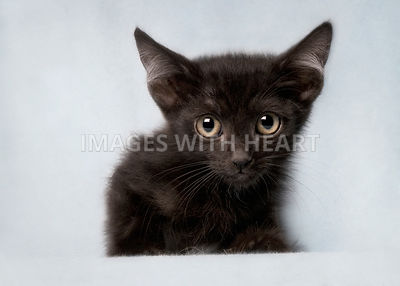 Black kitten on pale blue looking at the camera