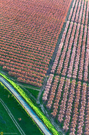 Peach Orchards in Bloom from the Air #12