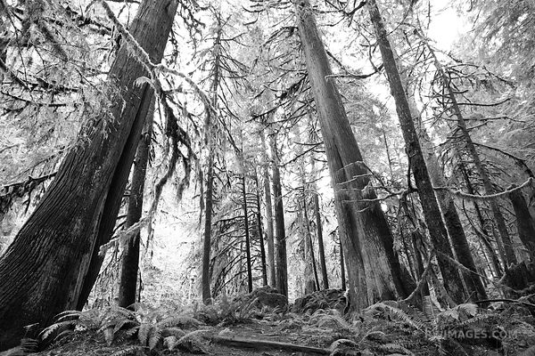 RAINFOREST TREES MARYMERE FALLS TRAIL OLYMPIC NATIONAL PARK WASHINGTON BLACK AND WHITE