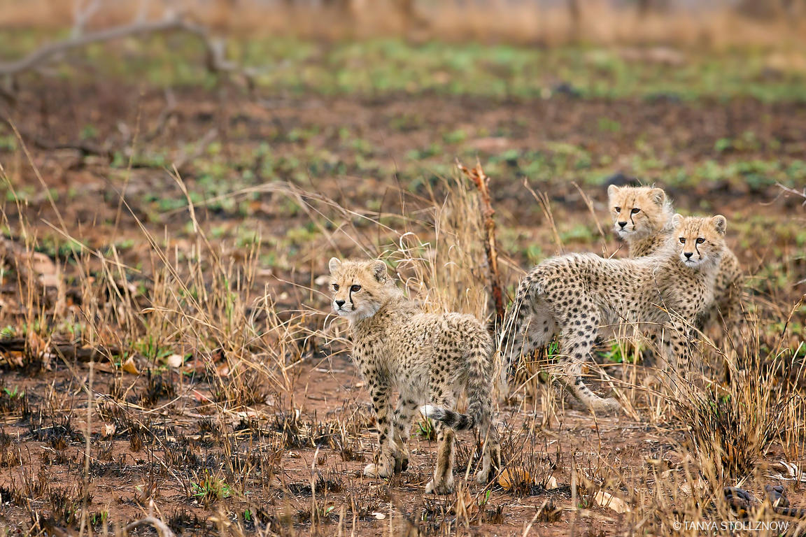 Tanya Stollznow Three Cheetah Cubs Kruger National Park South Africa