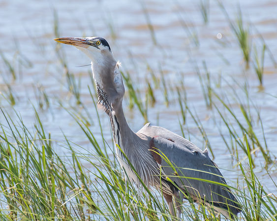 Heron Fishing Series - 4/4