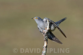 Common Cuckoo Cuculus canorus Caithness Scotland May