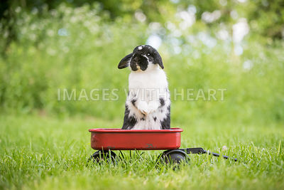 Bunny standing in a red wagon