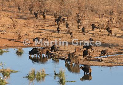 African (Cape) Buffalo (Syncerus caffer) at waterhole below Victoria Falls Safari Lodge, Zimbabwe