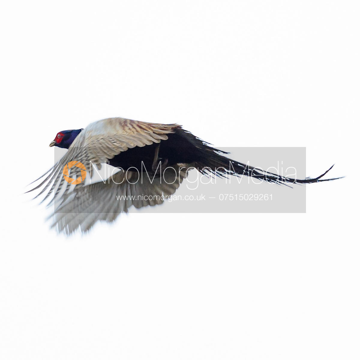 Game shooting images - cock pheasant in flight