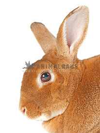 Cure red bunny with big ears looking at camera on white backdrop
