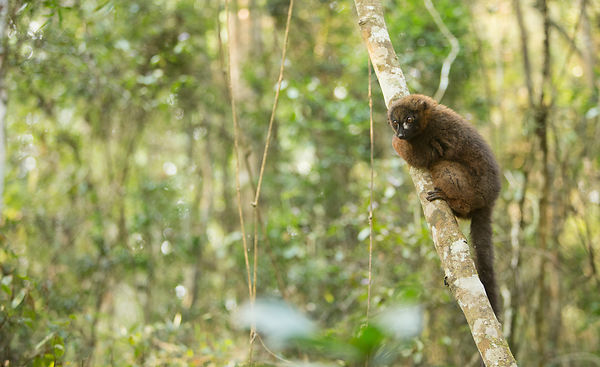 Male Red Bellied Lemur