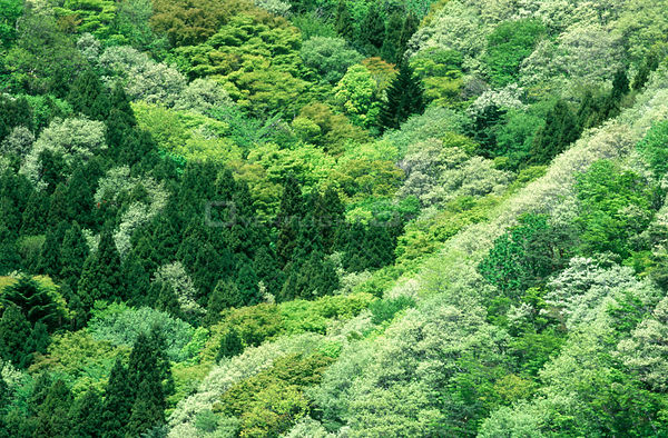 Mosaic of greens from spring leaves in tree canopy, Motosu Lake, Yamanashi, Japan