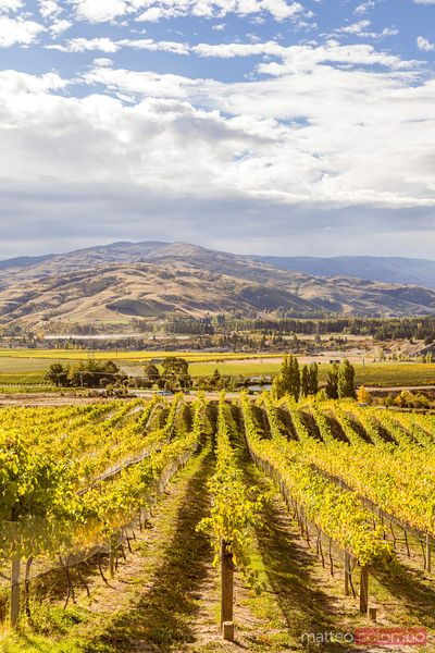 Vineyards in autumn, Bannockburn, Central Otago, New Zealand