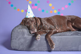 big chocolate lab wearing birthday hat laying on dog bed