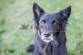 black dog with brown eyes and upright ears portrait