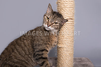 Tabby cat rubbing head on scratching post