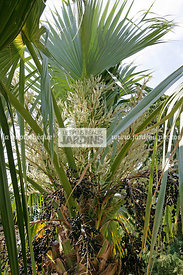 Sabal palmetto (Walt.) Lodd. (chou palmiste, palmetto), Cabbage Palm, Sabal Palm, Palmetto palm, Arecaceae, Synonyme Sabal um...