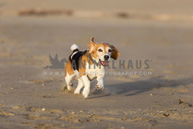 Happy beagle running at beach