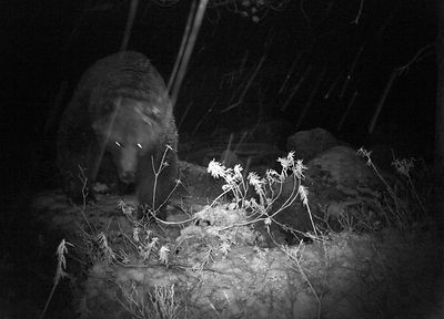 Brown Bear in IR Camera Trap Picture