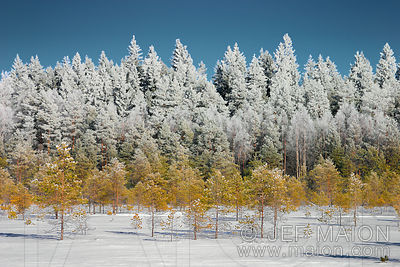 Frost-covered tree tops in a winter forest