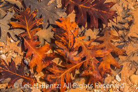 Gambel Oak Leaves in Bears Ears National Monument