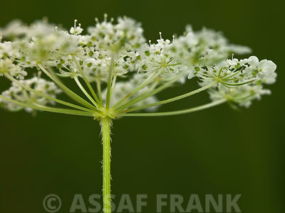 Cow Parsley flowers close-up