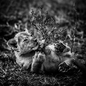 5587-Lion_cub_playing_with_a_branch_Kenya_2014_Laurent_Baheux