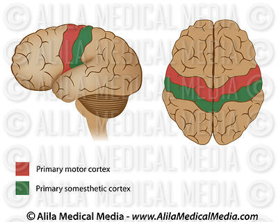 Motor and sensory areas of the brain