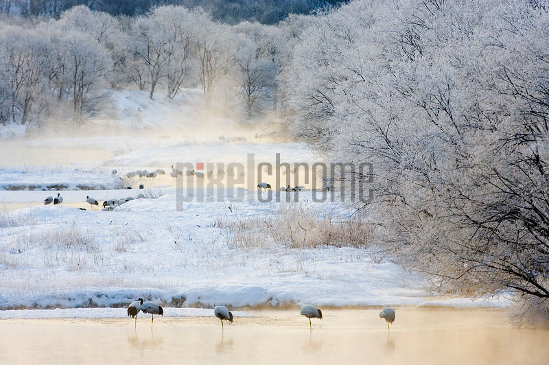Red Crowned Cranes in the River at Otowa Hokkaido Japan