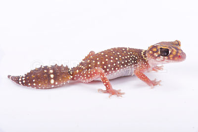 Eastern thick-tailed gecko (Underwoodisaurus husbandi)