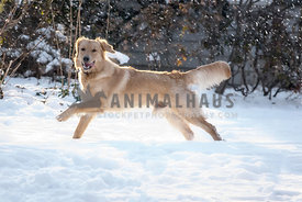 Full of life golden retriever dog runs through the snow with the tongue out