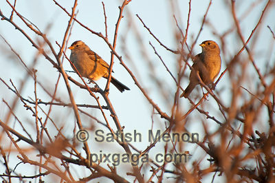 Sparrows on barren tree, Alviso, CA, USA