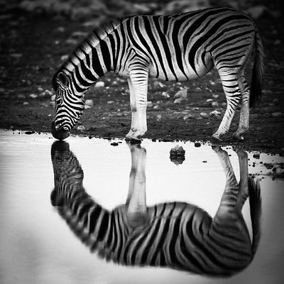 6658-Mirror_image_of_zebra_in_the_river_Namibia_2004_Laurent_Baheux