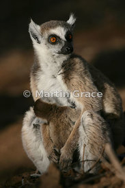 Sunlit female Ring-Tailed Lemur (Lemur catta) with pup, Berenty Reserve, Madagascar