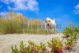 Jack russel running on sand dunes