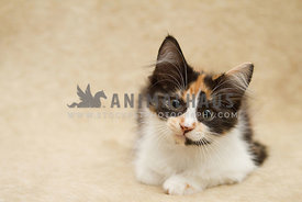 calico kitten on plain background