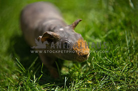 happy skinny pig walking through grass