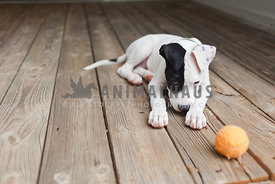 Black and white puppy refuses to play ball