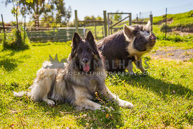 dog and pig sit together