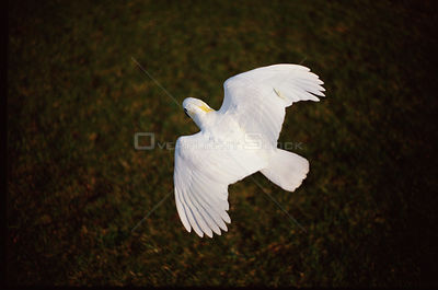 Sulphur crested cockatoo flying {Cacatua galerita} Australia