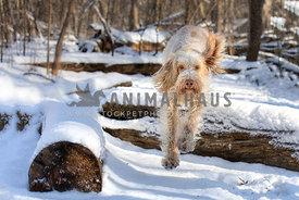 Athletic cute spinone italiano dog jumping over a log in the snow-capped forest