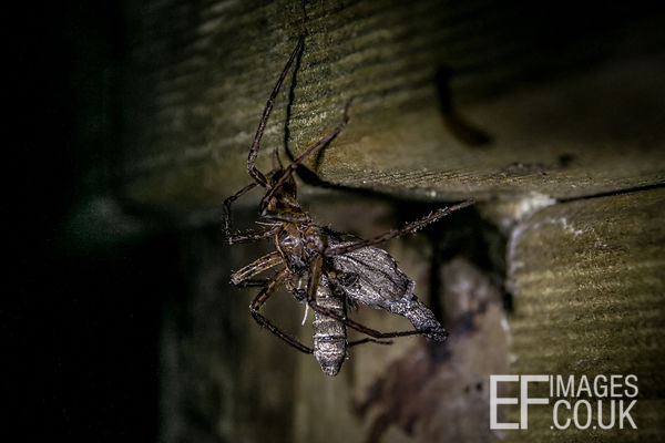 A Spider Eating A Moth