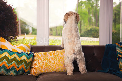 Dog standing on couch looking out window