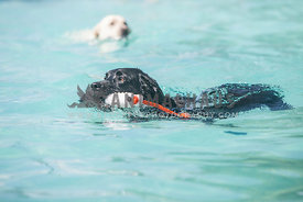 black lab swimming with toy