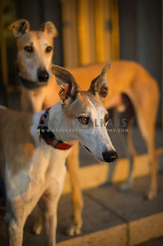 Two greyhounds in sunlight