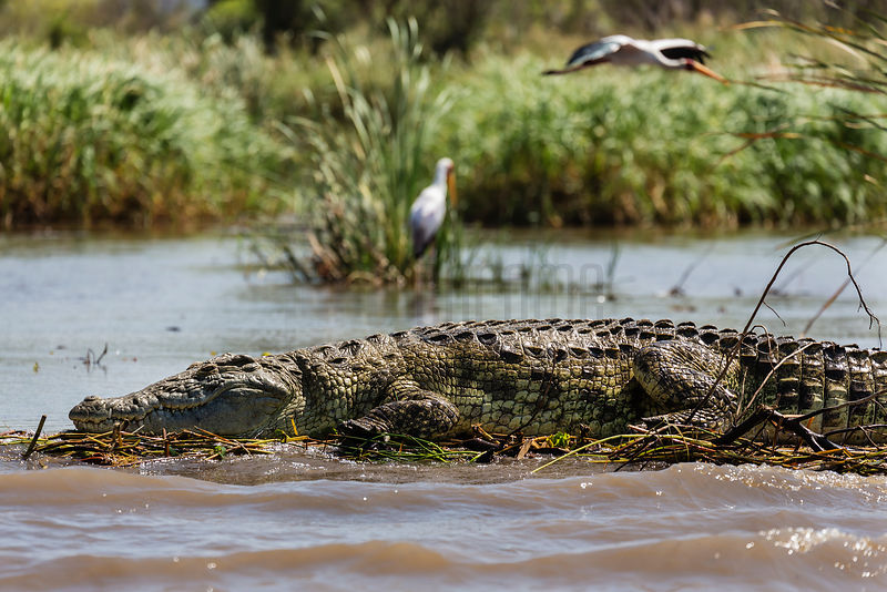 Crocodile on Chama Lake
