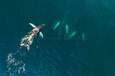 Aerial view of Humpback whales (Megaptera novaeangliae) Bay of Fundy, Canada. November.