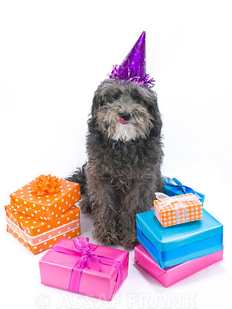Dog with gift boxes and a hat