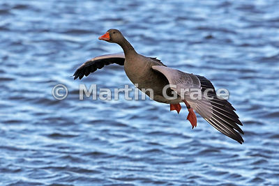 Greylag Goose (Anser anser) in flight, preparing to land on the water, Dumfries & Galloway, Scotland