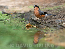 Eurasian Bullfinch Pyrrhula pyrrhula male drinking at woodland pool North Norfolk summer