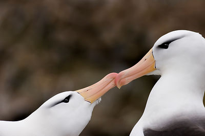 Black-browed Albatross Thalassarche melanophrys pair in courtship display New Island Falklands November
